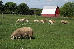 Image result for sheep farm